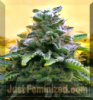 Advanced Auto Top 69 Female 3 Cannabis Seeds